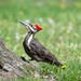 Pileated woodpecker by szhorvat