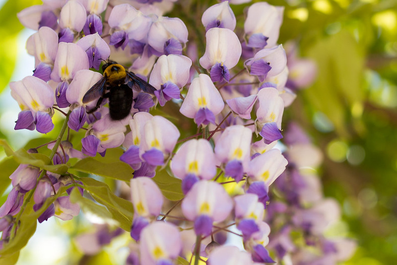 Carpenter bee and Japanese wisteria