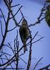Myrtle x Audubon Warbler - intergrade