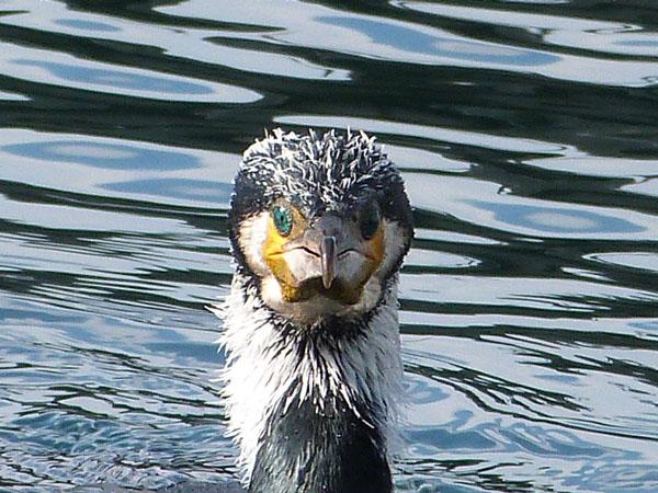 tête de cormoran