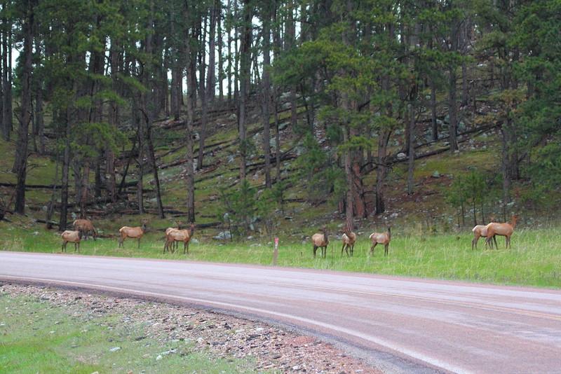 IMG_0216 Elk, Custer State Park