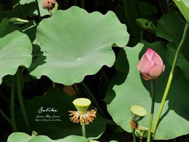 台北一日遊景點推薦植物園荷花蓮花池 (32)