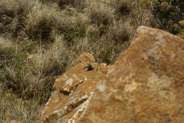 Southern rock agama Agama, Pentax K10D, Sigma 70-300mm F4-5.6 Macro