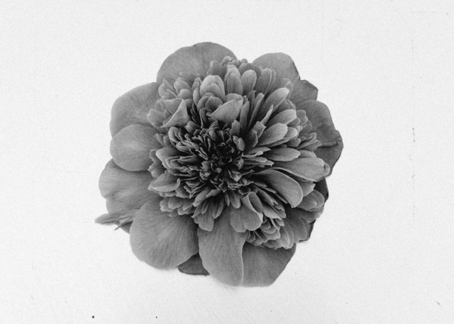 black and white photo of camelia