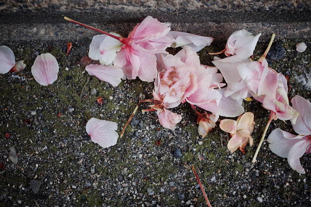 路地裏寸景~なごり桜