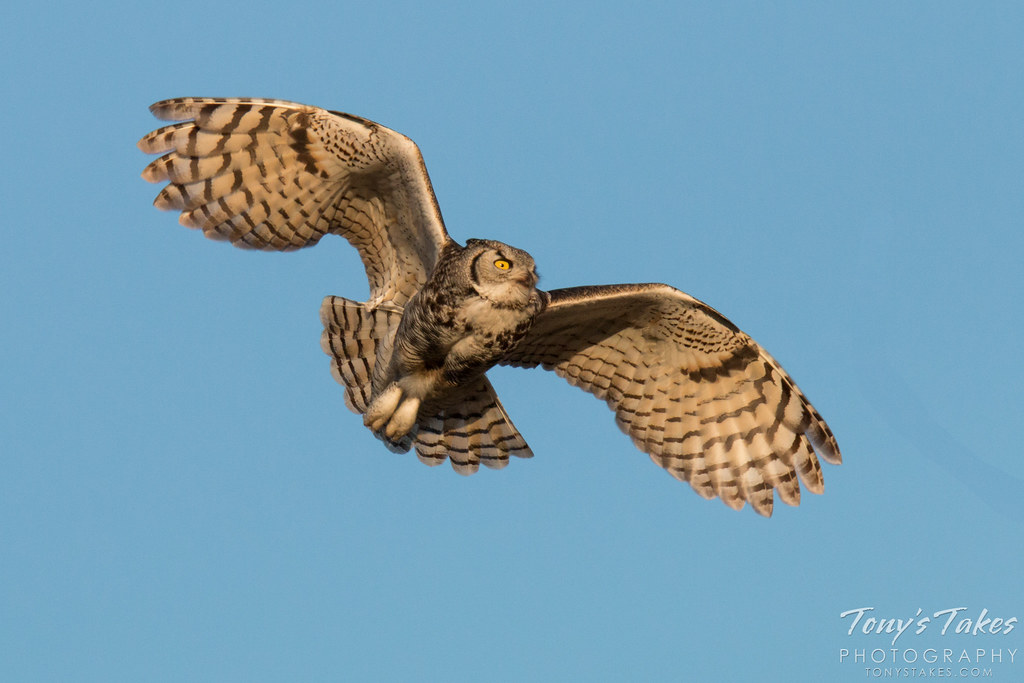 Great Horned Owl Flying Drawing