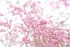 Photo:20150404 Kyoto Imperial Palace Park 7 By BONGURI