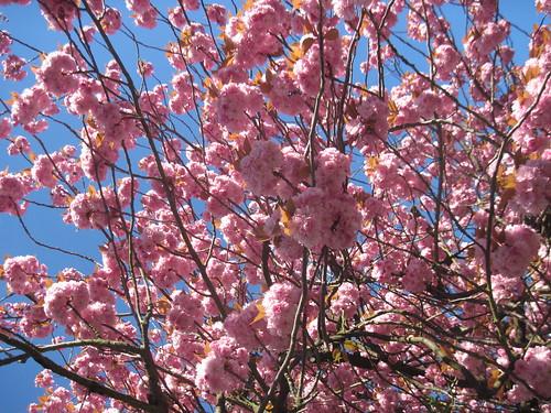 Springtime in Highgate - Big Strawberry Creampuffs