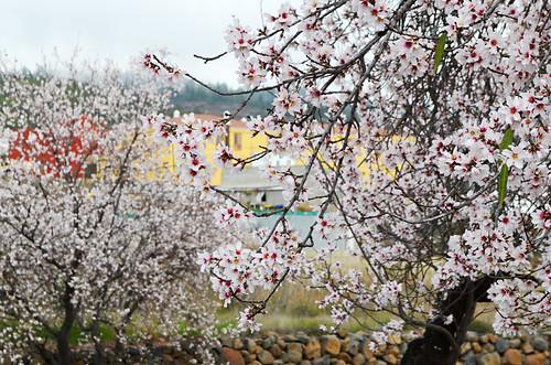 Almond blossom, Vilaflor, Tenerife