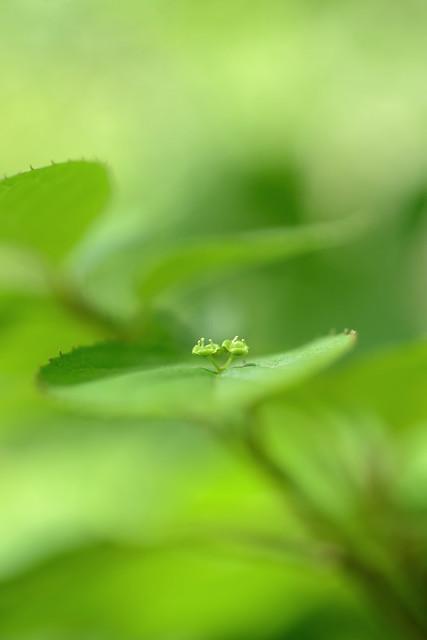 花筏 [Helwingia japonica]...