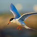 Forster's Tern in Flight by Dream Source Studio