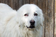 dog breed, animal, polish tatra sheepdog, dog, pet, maremma sheepdog, white shepherd, slovak cuvac, carnivoran, great pyrenees,