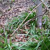 Bluebells are starting to come through #dogwalk
