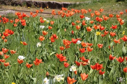 Tulipan im Britzer Garten 23.04.201512