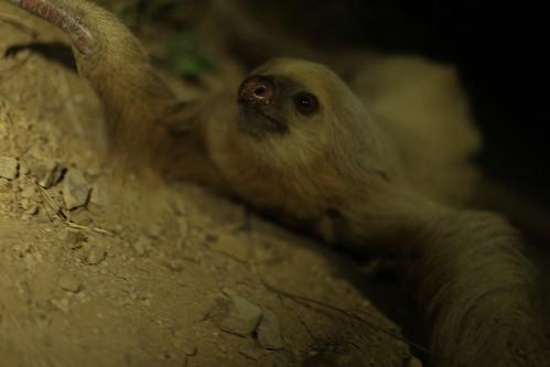 Sloth, Nicaragua