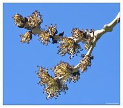 HolderAsh tree flowers