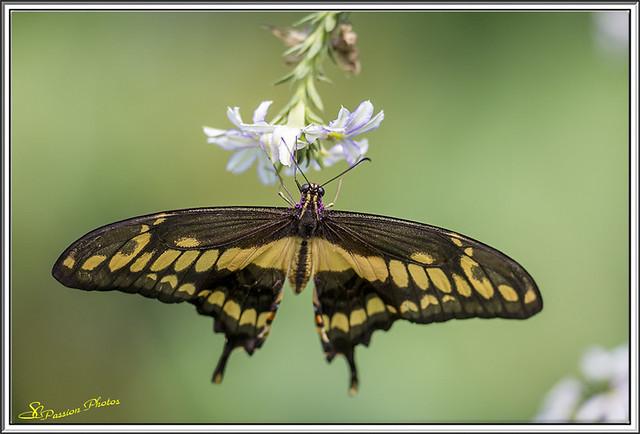 Papilio thoas (le voilier géant) 02