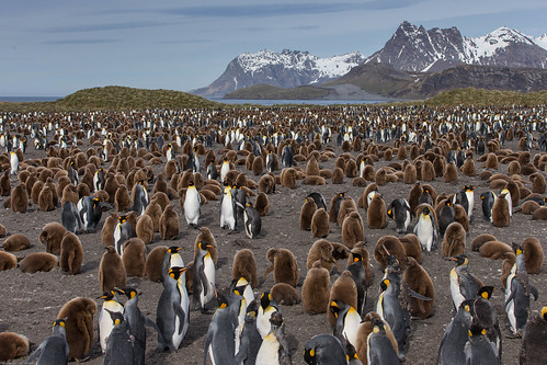 auglýsing fuglavernd kingpenguin aptenodytespatagonicus