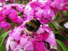 A busy Bumble Bee