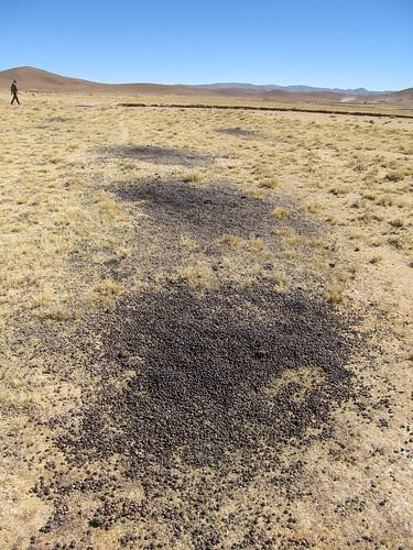 Le Sud Lipez: les lamas ont l'air de faire caca au même endroit...