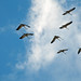Cranes: Autumn migration by Beatrijs Sterk