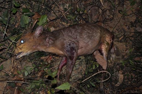 9日晚間屍體剛遭流浪狗咬死狀況。楊吉壽老師提供