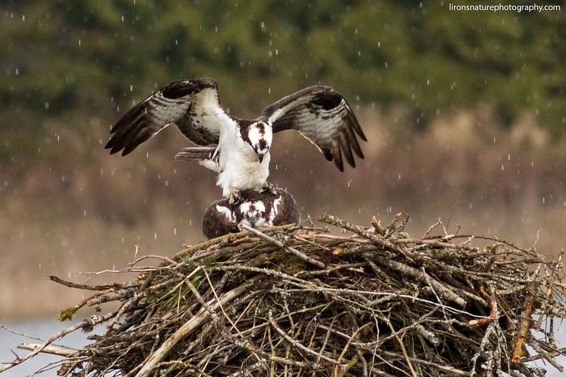 Ospreys Mating