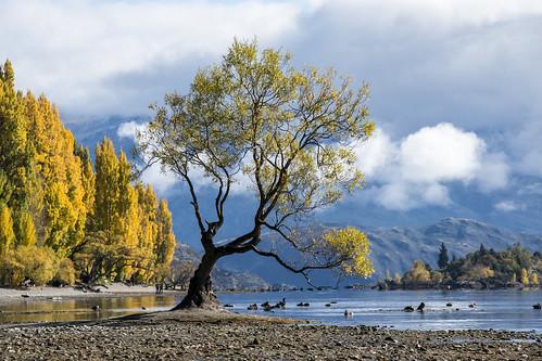 autumn tree fall bay willow nz otago wanaka closer roys