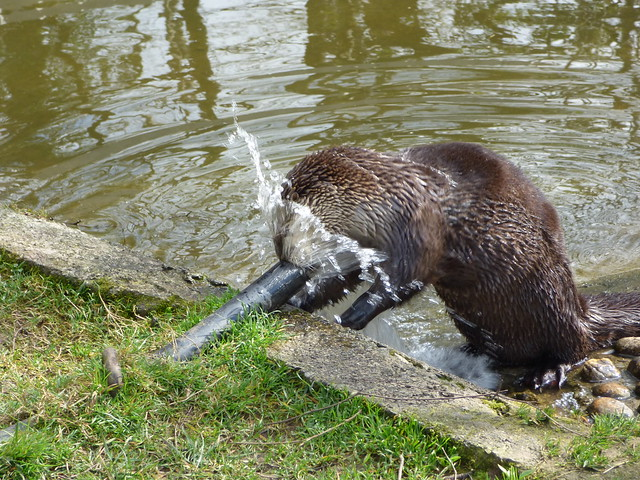 Otter standing at the edge of a canal, with a water pipe gushing water onto its face