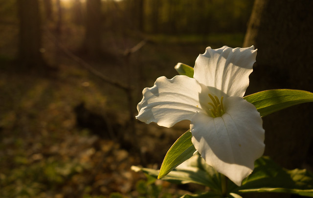 Trillium in the setting sun