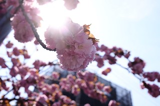 Double cherry blossoms.