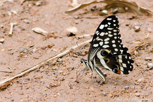 Papilio demodocus 20150314_48527