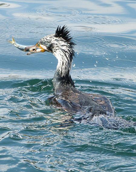 cormoran pêcheur