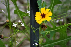Texas Wildflowers - Greenthread