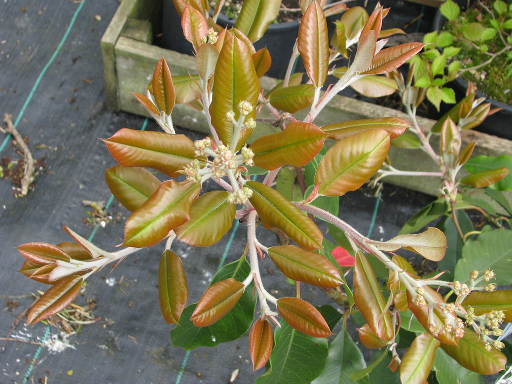 Photinia sp Bodnant