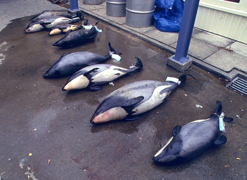 毛伊海豚。攝影:S. Dawson;來源:NABU。