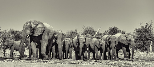 Old matriarch elephant leads her family from a waterhole