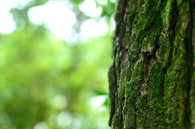 ナンキンハゼ  Chinese tallow tree