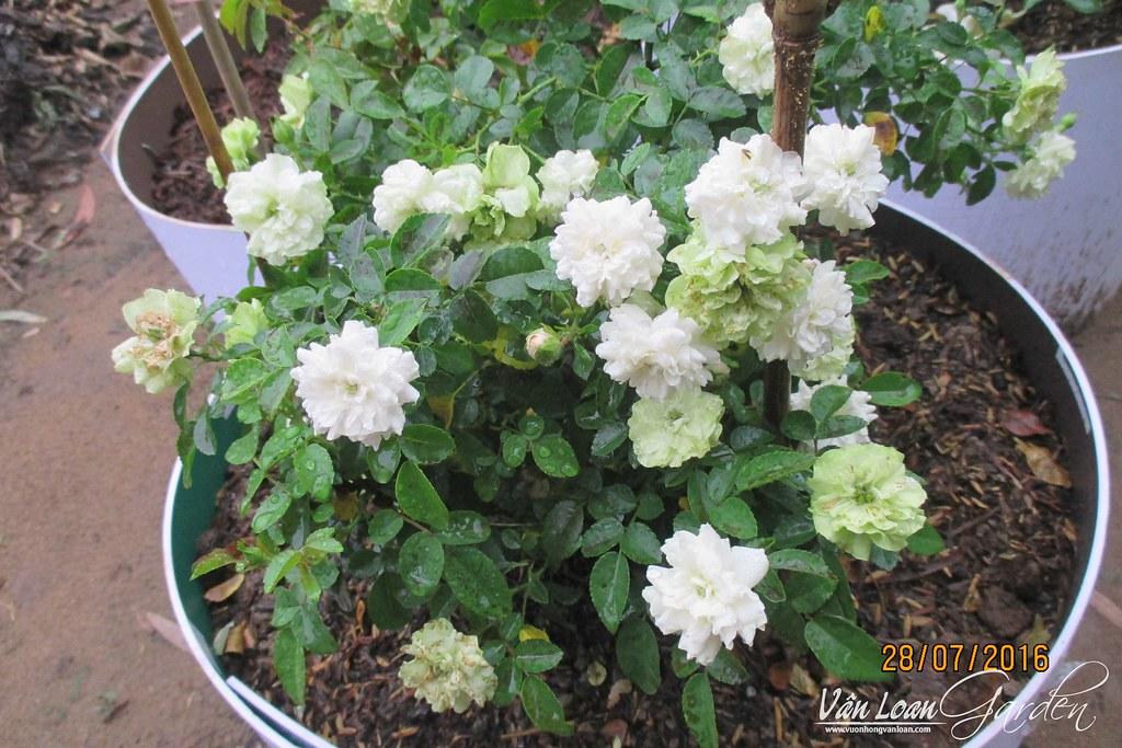 Green Ice Rose, tôi phải trồng ở chậu tương đối cao, để nước mưa, hoặc nước tưới không bắn ngược từ đất lên làm cây dễ phát sinh nấm bệnh