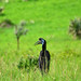 Abyssinian ground hornbill by supersky77