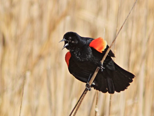 Red-winged Blackbird male 2-20150424