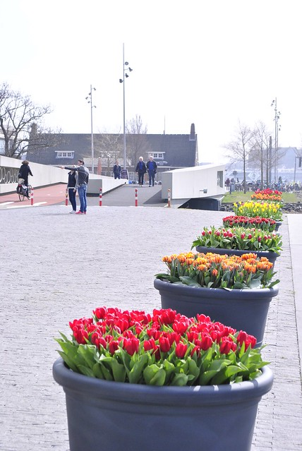 tulips @ the ij