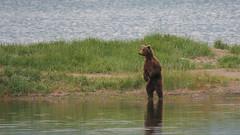 Niedźwiedź grizzli - na stojaco widać dalej