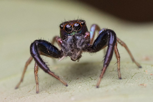 Rainbow Jumping Spider (front view)