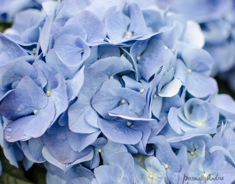 5 ways to photograph flowers //  Fill the frame // hydrangea