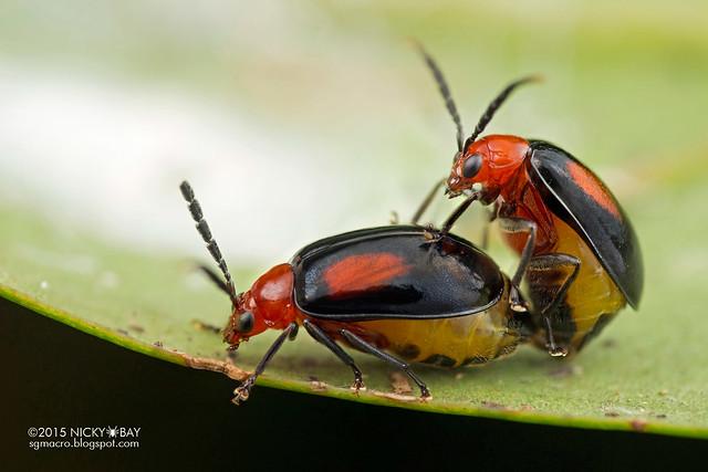 Leaf beetles (Arcastes biplagiata) - DSC_7486