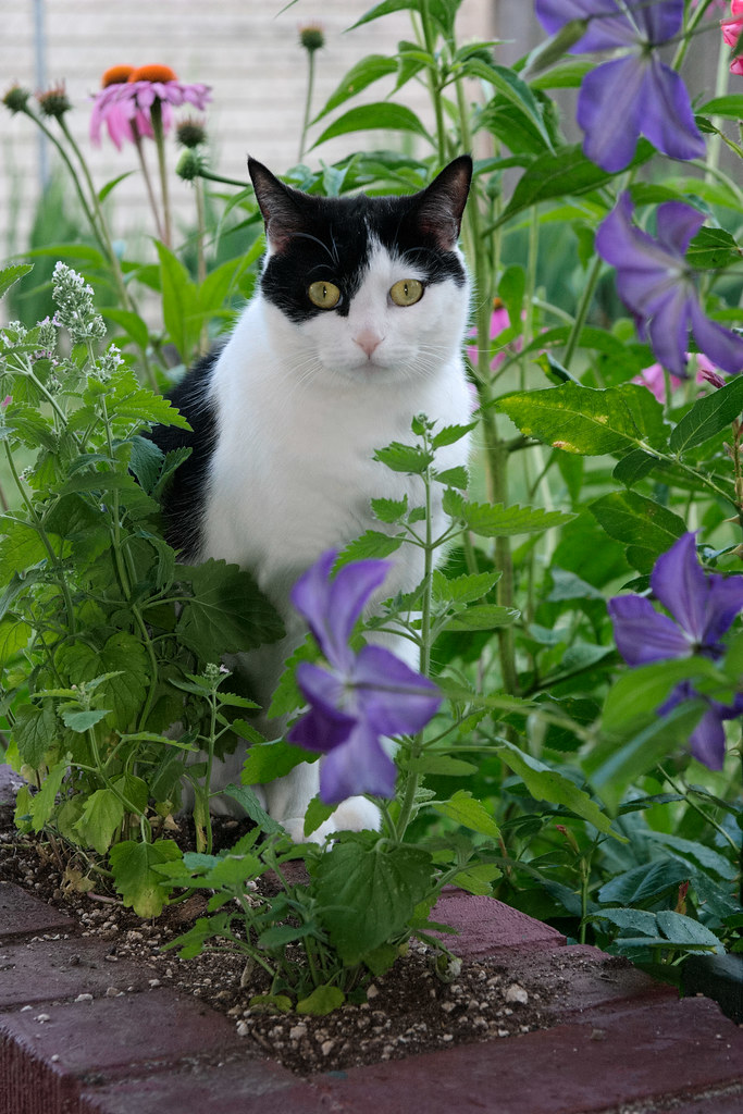 Our cat Scout sits in a catnip patch