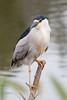 IMG_2827.jpg Black-crowned Night Heron, Harkins Slough, Watsonville by ldjaffe