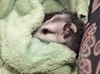 Immature possum