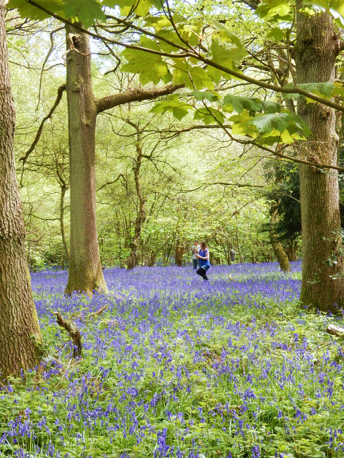 Tiptoe through the Bluebells Whyteleafe to Woldingham